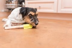 Small cute dog cooking and baking - jack russell terrier stock photos
