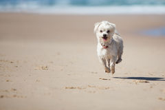 Small cute dog jumping on a sandy beach royalty free stock photography