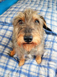 Small cute dog Royalty Free Stock Photo