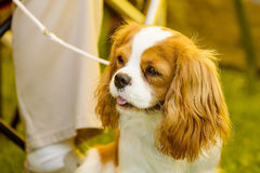 Small cute dog Royalty Free Stock Photos