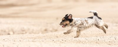 Small cute dog running on dry sandy ground and have fun. Jack Russell Terriers 4 years young royalty free stock photo