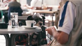 A small cute dog sits on a chair in a cafe