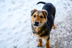 Dog with the snowy muzzle. Small cute dog with the snowy muzzle looking at the camera Royalty Free Stock Photo