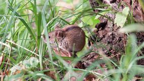 Small cute fluffy gray harvest mouse sitting in grass at root of old tree in field. Summer evening. Small cute fluffy gray harvest mouse sitting in green grass stock video