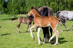 Small cute foal running in the field. Small cute baby foal running in the field Royalty Free Stock Image