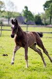 Small cute foal running in the field. Small cute baby foal running in the field Royalty Free Stock Photography