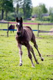 Small cute foal running in the field. Small cute baby foal running in the field Stock Photos
