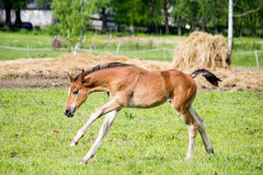 Small cute foal running in the field. Small cute baby foal running in the field Royalty Free Stock Photos