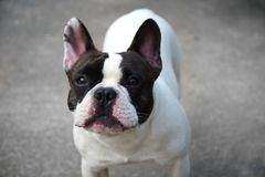 Small cute funny baby black and white french bull dog animal. Single small cute funny baby black and white french bull dog animal Stock Photo