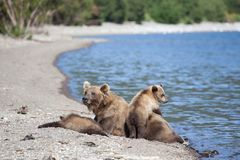 Wild brown bear grizzly family with a cute little bears cubs on the Kuril lake stock images