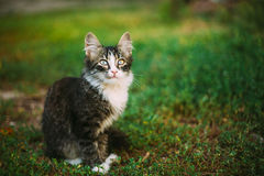 Small Cute Funny Gray Cat Kitten Play In Grass. Summer Stock Photography