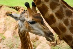 Small cute giraffe in the zoo. Small cute giraffe with his mom in the zoo Stock Images