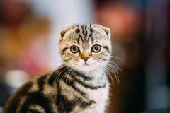 Small Cute Gray Scottish Fold Cat Kitten Indoor Stock Image