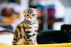 Small Cute Gray Scottish Fold Cat Kitten Indoor. Small Cute Gray Scottish Fold Cat Kitten At Blurred Indoor Background Royalty Free Stock Image