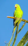 Small cute green parrot royalty free stock photography