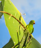 Small cute green parrot royalty free stock photos