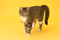 Small cute greeneyed tabby cat isolated on yellow Stock Image