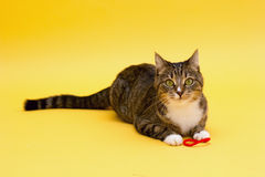 Small cute greeneyed tabby cat isolated on yellow Royalty Free Stock Image