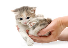 Small cute kitten , close-up Stock Photography