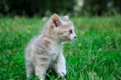 Small cute kitten on grass , close-up Royalty Free Stock Photo