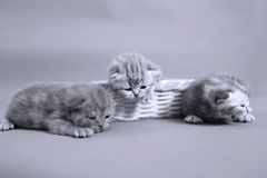 Small cute kitten meaowing Royalty Free Stock Image