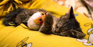 Small cute kitten sleeps hugging plush toy Stock Image