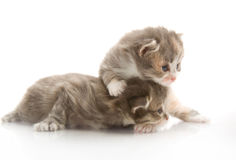 Small cute kittens , close-up Royalty Free Stock Photos