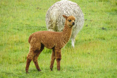 Small cute lama in a herd Royalty Free Stock Photo