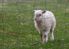 Small cute lamb after a fence. Horizontal photo of a lamb sitting on a green grass field with a fence in front Royalty Free Stock Images