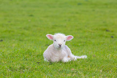 Small cute lamb gambolling in a meadow in a farm. Small cute lamb gambolling in a meadow in England farm stock photo
