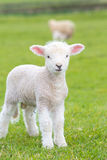 Small cute lamb gambolling in a meadow in a farm royalty free stock image