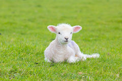 Small cute lamb gambolling in a meadow in a farm stock image