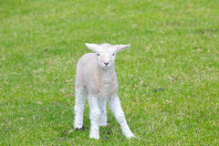 Small cute lamb gambolling in a meadow in a farm. Small cute lamb gambolling in a meadow in England farm royalty free stock images