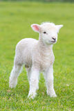 Small cute lamb gambolling in a meadow in a farm stock photo