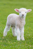 Small cute lamb gambolling in a meadow in a farm royalty free stock photos