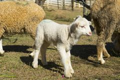 Small cute lamb. Gambolling in a meadow royalty free stock photos