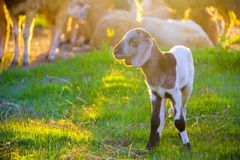 Small cute lamb in sheep farm Royalty Free Stock Photography