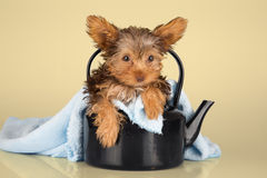 Small cute little Yorkshire terrier sitting in black kettle Royalty Free Stock Photo