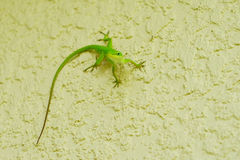 Small cute lizard Royalty Free Stock Images