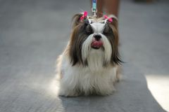 Small cute long hair shih tzu dog with pink bows standing on the. Concrete floor with her tongue out royalty free stock photos