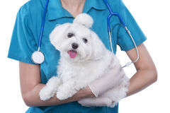 Small cute Maltese in the hands of a veterinarian. Vet with a stethoscope in blue uniform is holding small dog. White background. studio shot Stock Photography