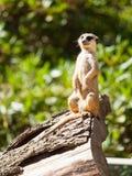 Small cute meerkat or suricate on alert Stock Images