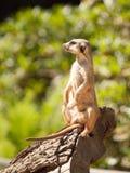 Small cute meerkat or suricate on alert Stock Photos