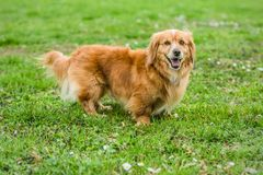 Small cute mixed breed brown playful dog stock photos
