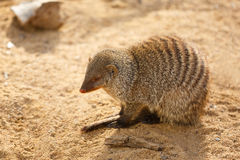 Small cute mongooses Royalty Free Stock Photography