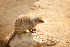 Small cute mongooses Stock Photography