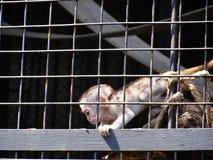 Small cute monkey clibbing at zoo stock images