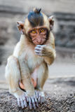Small cute monkey sitting and looking in the camera Royalty Free Stock Photography