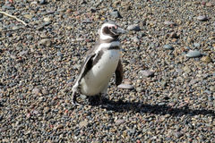 Small cute penguin Royalty Free Stock Photos