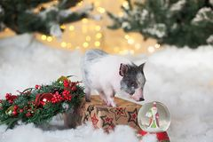 Little cute pig stands on a festive box.Postcard for New year or Christmas, symbol of the year. Small cute pig stands on a festive box, next to a glass ball with stock images